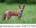 虾夷红狐狸 幼崽 少年狐狸 33072700