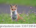 虾夷红狐狸 幼崽 少年狐狸 33072858