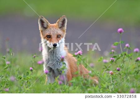 Kita狐狸的孩子们 33072858