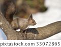 松鼠 日本北海道松鼠 松鼠常見的東 33072865
