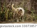 Dog shaking water 33073857
