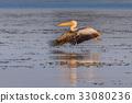 white pelican (pelecanus onocrotalus) 33080236
