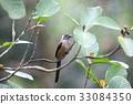 野生鳥類 野鳥 動物 33084350