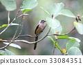 野生鳥類 野鳥 動物 33084351