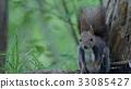 松鼠 野生動物 野生生物 33085427