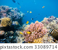 school of fish on coral garden in red sea, Egypt 33089714