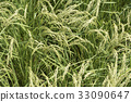 paddy, rice plant, rice 33090647
