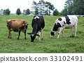 cow, cattle, cows 33102491