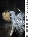 grey, crowned, crane 33105321