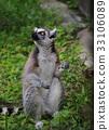 哺乳動物 猴子 猴 33106089