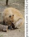可愛 動物園 豚鼠 33106214