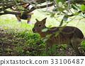 動物 美麗 豚鼠 33106487