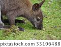 袋鼠 動物 小 33106488