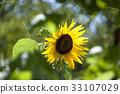 sunflower, sunflowers, bloom 33107029