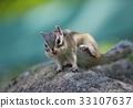 江之島松鼠 花鼠 松鼠 33107637