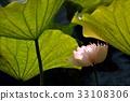 荷花,蓮花,大王蓮,花,風景,植物 33108306