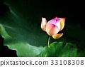 荷花,蓮花,大王蓮,花,風景,植物 33108308