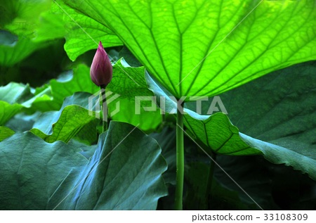 荷花,蓮花,大王蓮,花,風景,植物 33108309
