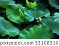 荷花,蓮花,大王蓮,花,風景,植物 33108310