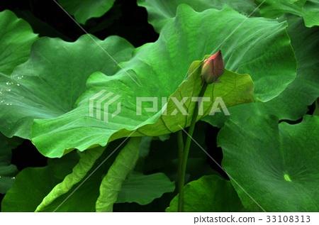 荷花,蓮花,大王蓮,花,風景,植物 33108313