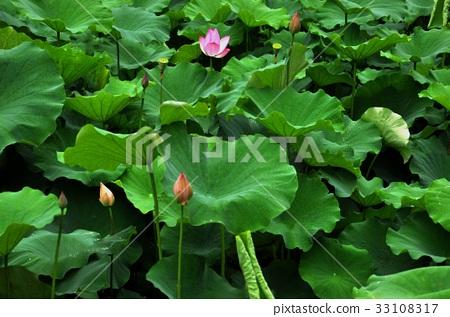 荷花,蓮花,大王蓮,花,風景,植物 33108317