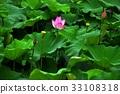 荷花,蓮花,大王蓮,花,風景,植物 33108318