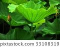 荷花,蓮花,大王蓮,花,風景,植物 33108319