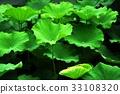 荷花,蓮花,大王蓮,花,風景,植物 33108320