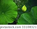 荷花,蓮花,大王蓮,花,風景,植物 33108321