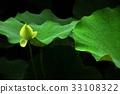 荷花,蓮花,大王蓮,花,風景,植物 33108322