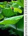 荷花,蓮花,大王蓮,花,風景,植物 33108323