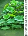 荷花,蓮花,大王蓮,花,風景,植物 33108329