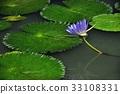 荷花,蓮花,大王蓮,花,風景,植物 33108331