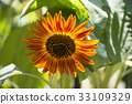 Orange sunflower 33109329
