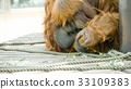 猩猩 動物 智人 33109383