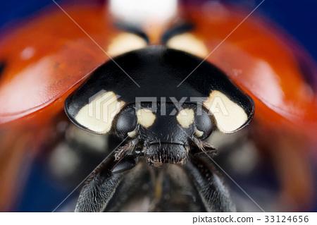Ladybug extreme macro photo 33124656