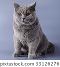 Gray British cat half a year from birth sits 33126276