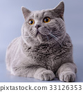Very beautiful surprised British cat lies  33126353