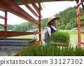 水稻种植水稻幼苗的制备 33127302