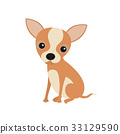 Little cute sitting chihuahua puppy. Little brown 33129590