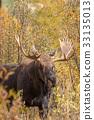 moose, animal, nature 33135013