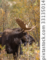 Bull Moose in Fall 33135014