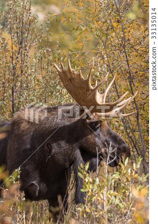 Bull Moose in Fall 33135014