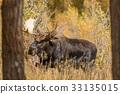 moose, animal, nature 33135015