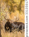 Bull Moose in Fall 33135017
