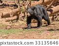 Black Bear 33135646