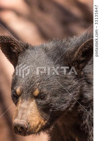 Black Bear 33135647