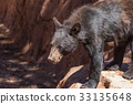 bear, black, animal 33135648