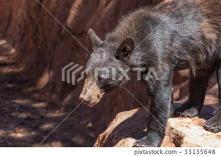 Black Bear 33135648