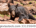 bear, black, animal 33135649